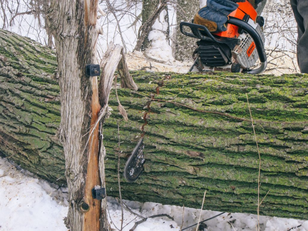 Cutting the trunk of the tree to length.